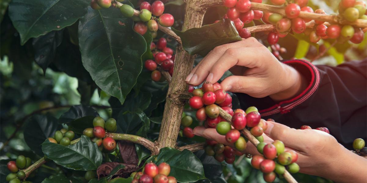 Какво представляват плодовете на кафето?