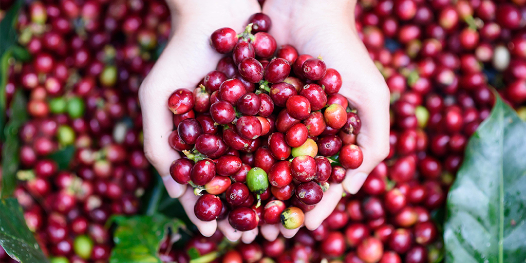 плодовете на кафето
